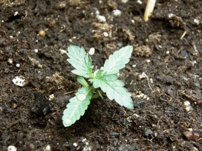 four leaf seedling