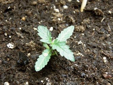 four leaf seedling