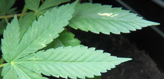 burned leafs
